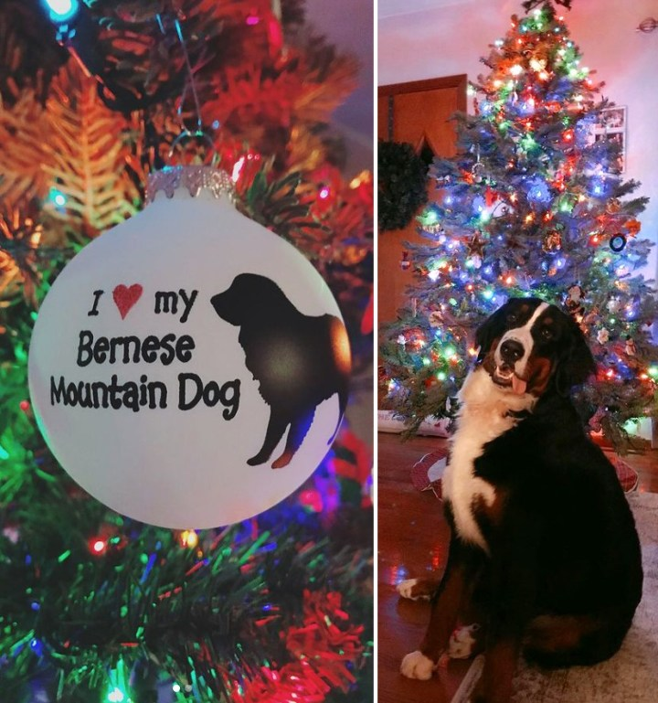 Bernese Mountain Dog with Christmas tree and personalized ornament