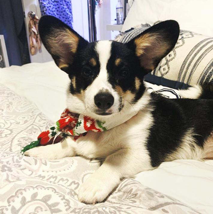 Corgi wearing Nordic knit pet scarf.