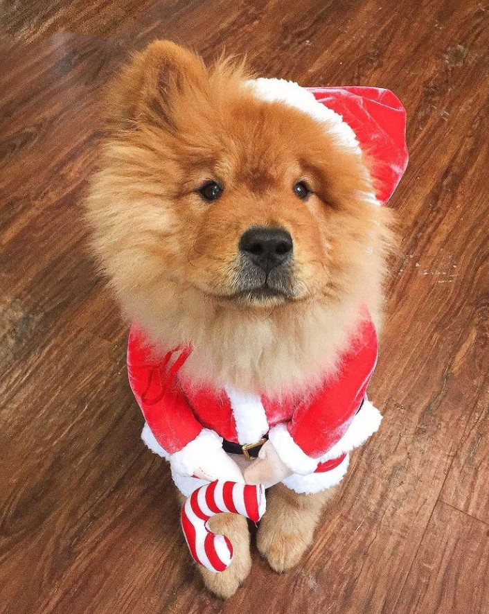 Chow chow dog in a Santa suit costume