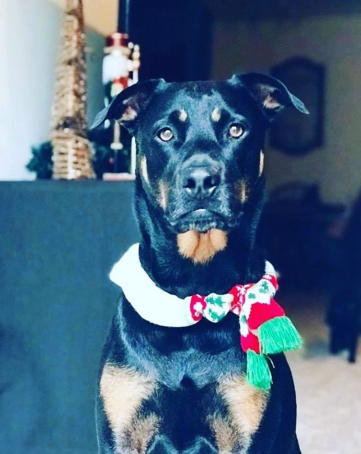 Rottweiler wearing Nordic knit pet scarf.