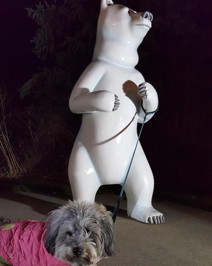 Schnauzer Mix With Polar Bear