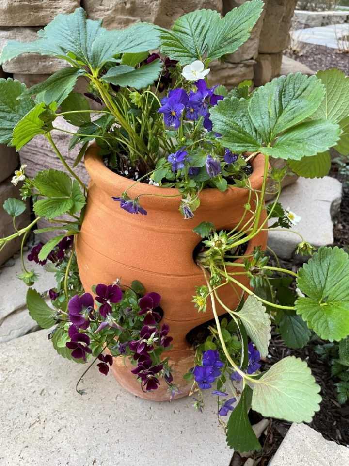 Strawberry pot filled with pansies and strawberries.