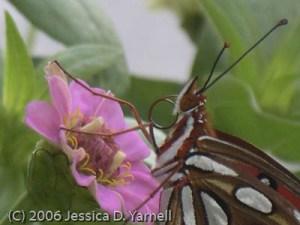 Gulf Fritillary butterfly in our backyard