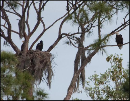 Bald Eagles and juvenile on nest, Circle B Bar Reserve