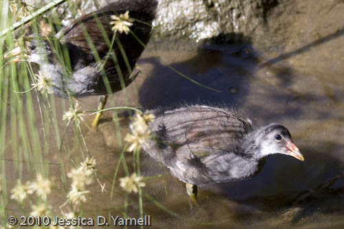 Juvenile common moorhen