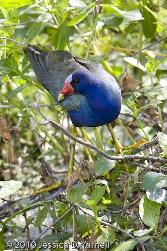Purple Gallinule adult