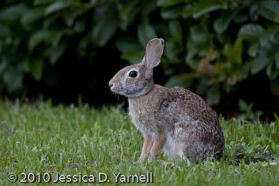 Neighborhood rabbit