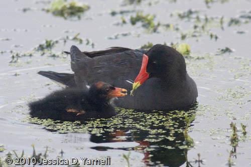 Common Moorhen feeding