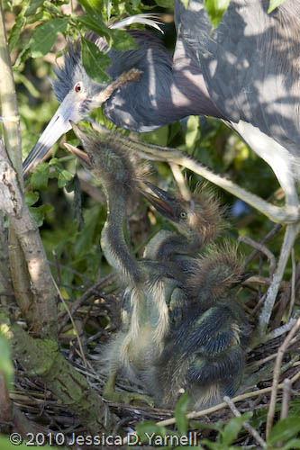 Tri-colored herons - Mother and babies