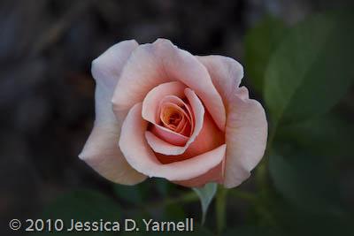 'Nancy Reagan' rose