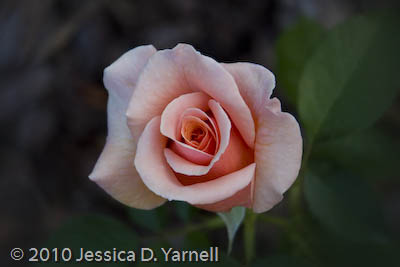 'Nancy Reagan' rose