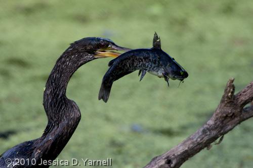 Anhinga eating catfish