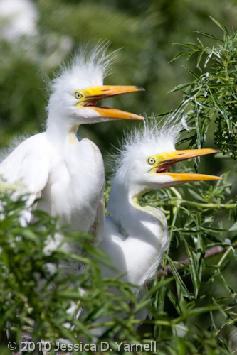 Great Egret juveniles