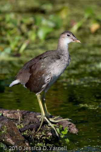 Common Moorhen juvenile