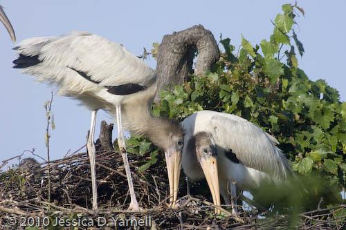 Wood Stork feeding time