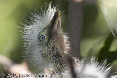 Cattle Egret baby