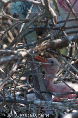 Baby Roseate Spoonbill