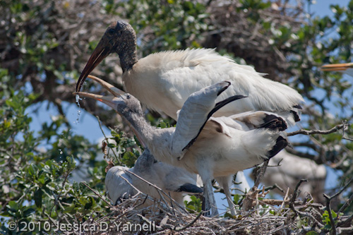Wood Stork breakfast time