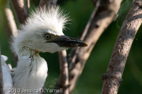 Baby Cattle Egret