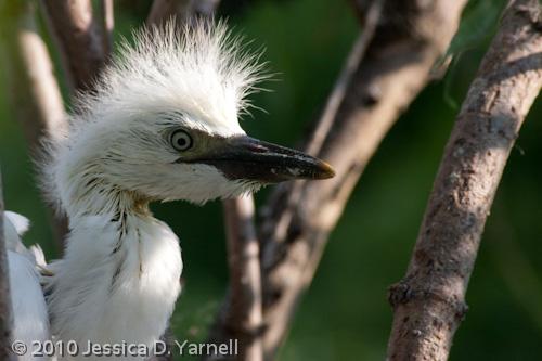 Baby Cattle Egret