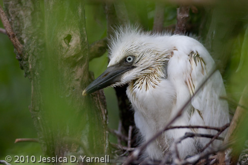 Cattle Egret baby