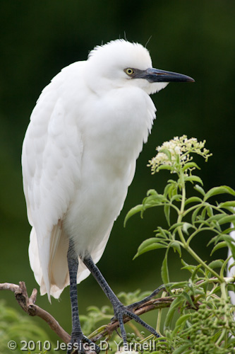 Cattle Egret fledgling