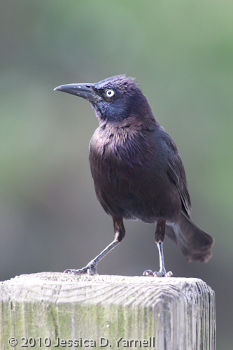 Adult Boat-tailed Grackle