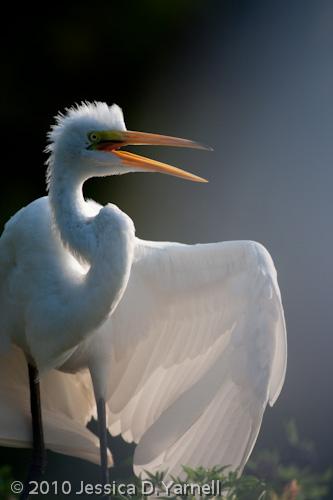 Great Egret juvenile
