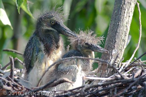 Tricolored Heron chicks