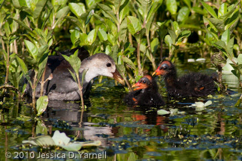 Common Moorhen juvenile and babies