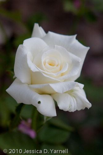 'Pope John Paul II' rose