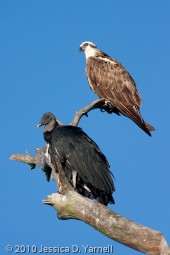 Black Vulture and Osprey - the Odd Couple?