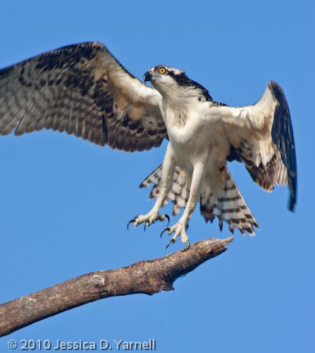 Skittish Osprey