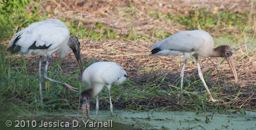 Wood Stork family feeding