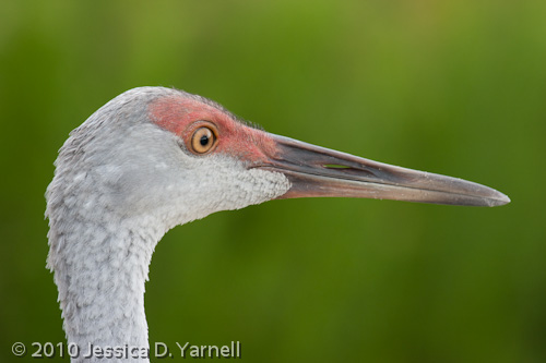 Juvenile Sandhill Crane headshot