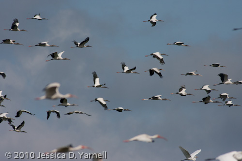 Wood Stork Frenzy