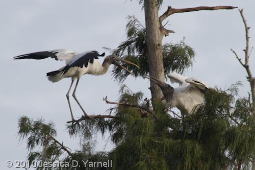 Wood Stork interaction