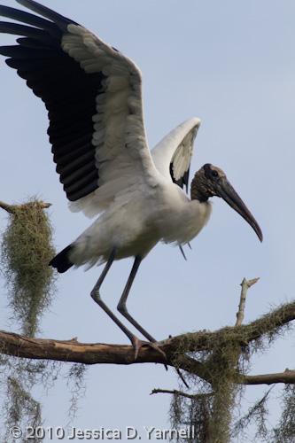Wood Stork wing flag