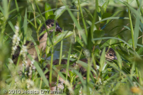 Baby Purple Gallinules - Peek a boo