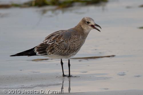 Laughing Gull - juvenile