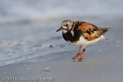Ruddy Turnstone - Breeding plumage