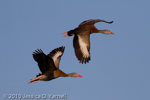 Black-Bellied Whistling Ducks (Adults)