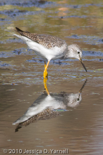 Greater Yellowlegs, in 10am not-so-golden light