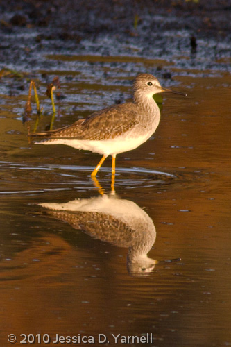 Greater Yellowlegs, in 7am golden light