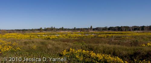 Yellow Flower Marsh Panorama