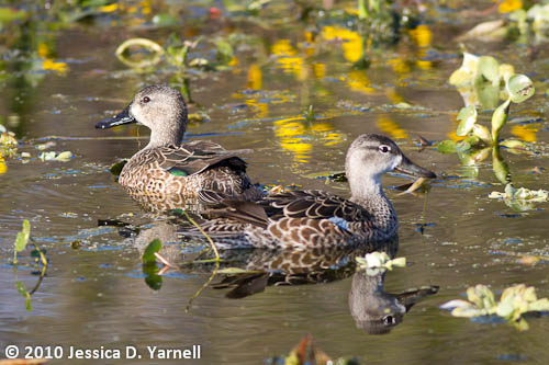 Blue-Winged Teals