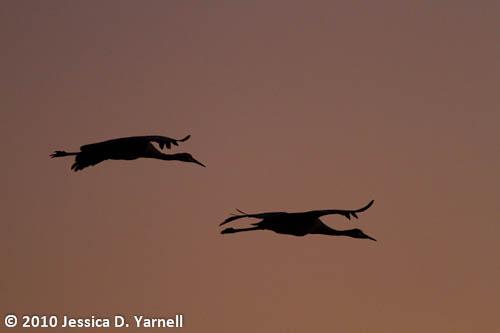 Sandhill Crane silhouettes
