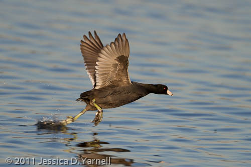 American Coot take-off