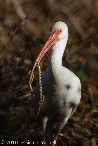 White Ibis with Snake