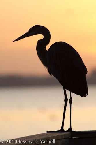 Great Blue Heron sunrise
